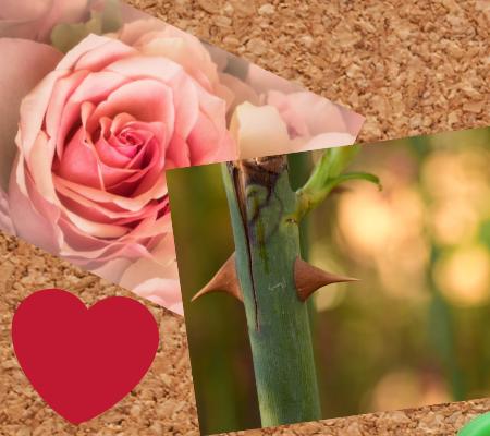 コルクボード,薔薇,薔薇のトゲ