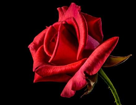 真っ赤な1輪の薔薇