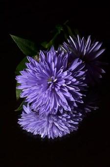 紫のエゾギクの待ち受け画像