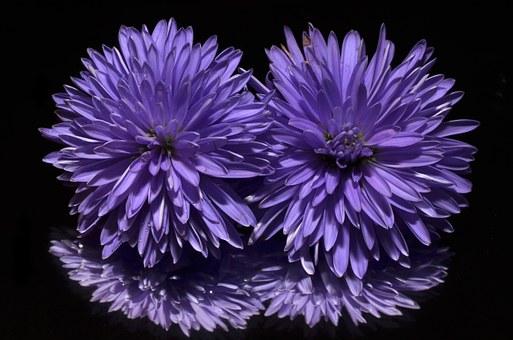 紫のエゾギクの待ち受け