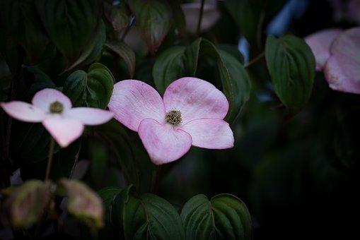 薄ピンクのハナミズキの待ち受け画像