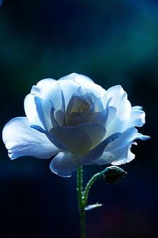 青い薔薇の待ち受け画像