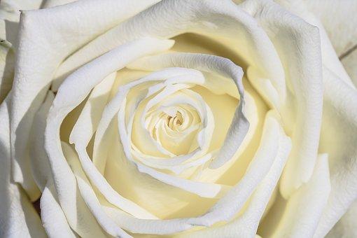 一輪の白い薔薇