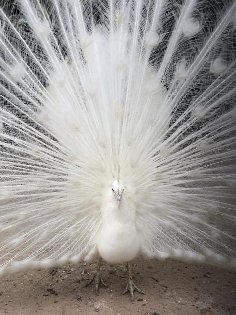 会いたい人 会える 待ち受け 白孔雀